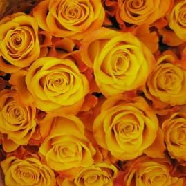 Oranžinės rožės