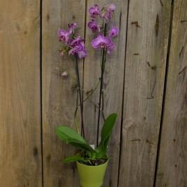 Orchidėja phaleonopsis